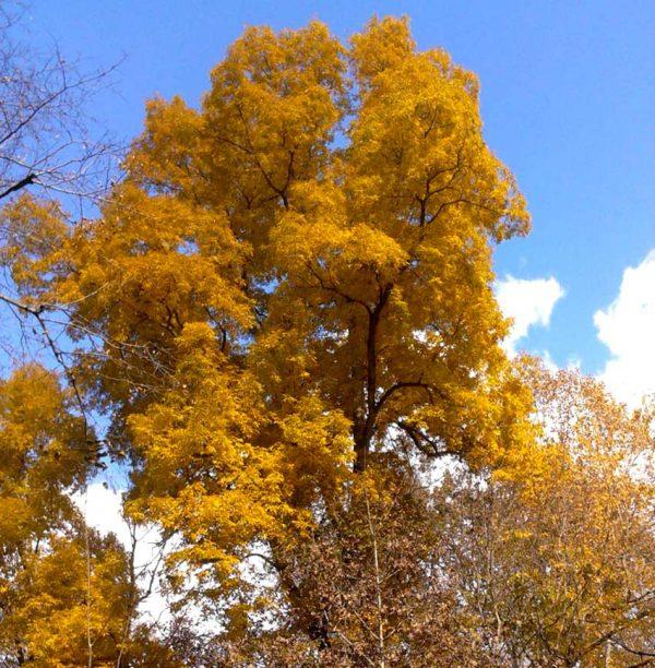 Fraxinus excelsior seedlings