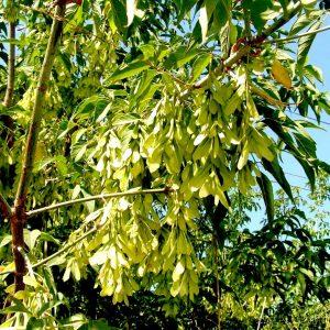 Maple seedlings