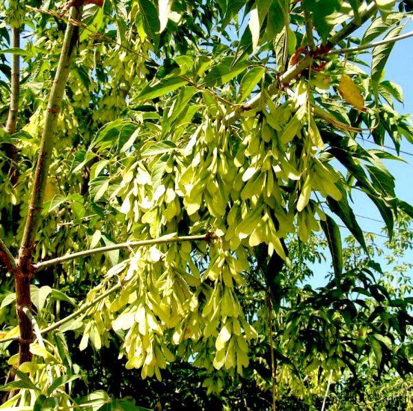 میوه افرا