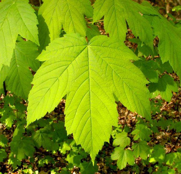 برگ افرا