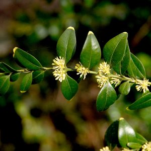 Buxus hyrcana