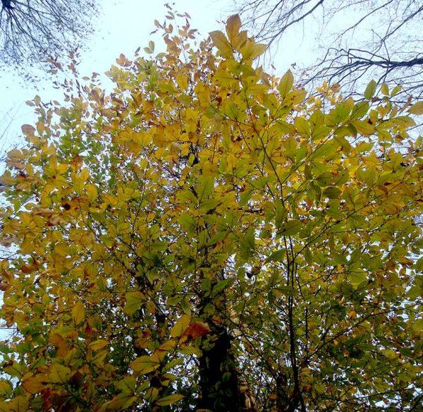 درخت ممرز