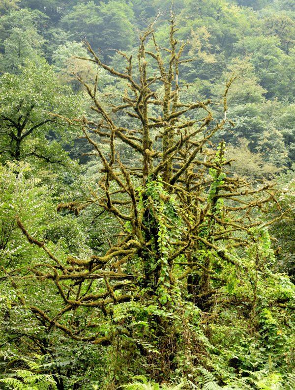 درخت شمشاد