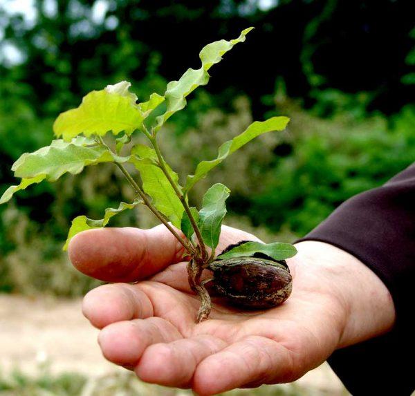 Quercus petraea seedlings
