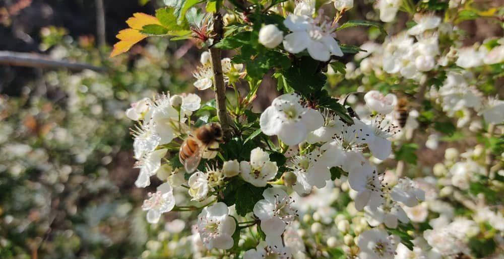 زنبور در حال مکیدن شهد گل